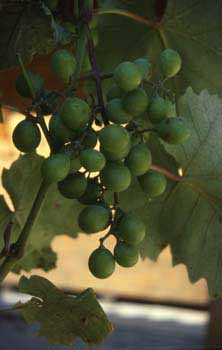 Picture: Grapes