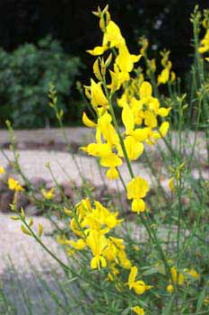 Picture: Spanish Broom