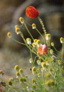 Picture: Corn Poppy and Chamomile
