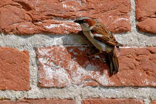 Picture: Sparrow on the Church Wall